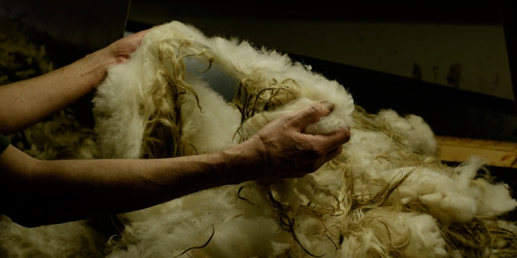 person pulling thick clump of sheep wool apart